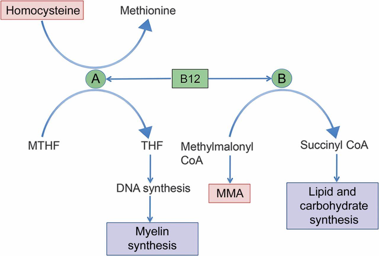 Vitamin B12 Deficiency vitamin B12 as a cofactor